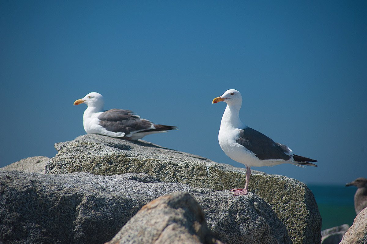 Seagulls at Dockweiler State Beach